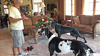 Playful Great Danes Love to Share Pupperoni Dog Treats