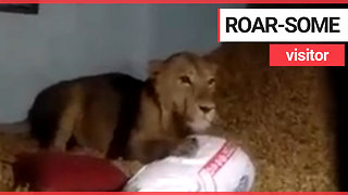Family find a LION sitting in their home