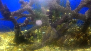 Amazing nature spotted seahorse  - Video