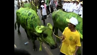 Buffaloes Take Part In Festival - Video