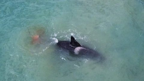 Drone films fearsome killer whale ripping out huge stingray's liver with surgical precision in incredible fight to the death