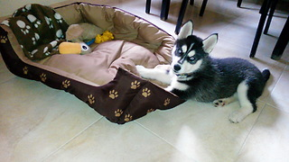 This Adorable Husky Has A Precious Morning Routine  - Video