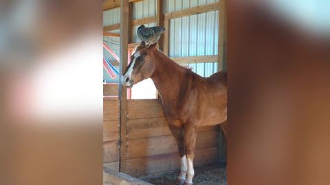 A Chicken Sits On A Horse's Head In A Barn