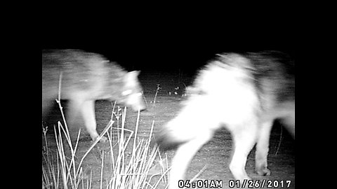 Night Time Wolves followed by Spooky Eyes at Video End