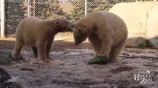 Utah Zoo's Polar Bears Play Together for First Time - Video