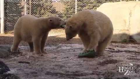 Utah Zoo's Polar Bears Play Together for First Time