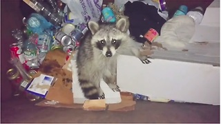 Silly Raccoon Repeatedly Gets Stuck In The Trash Bin!