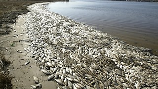 Millions of fish washed ashore!!!!!! - Video