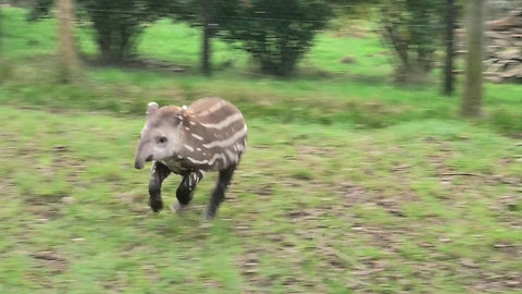 Extremely playful baby tapir loves chasing the birds