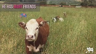Horse and Steer at Californian Farm Are Best Friends - Video