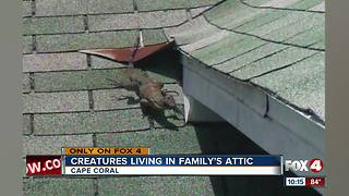 Iguanas, not Monitor lizard, living in Cape attic - Video