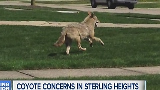 Coyote concerns in Sterling Heights - Video