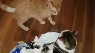 Kittens Battle in Empty Plastic Bag - Video