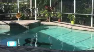 Sarasota couple finds 300-pound gator in their swimming pool - Video