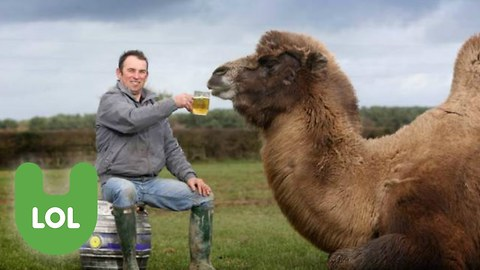 The Beer Drinking Camel