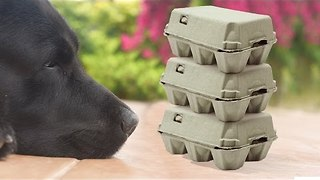 Dog Sees and Destroys Defenseless Egg Cartons - Video