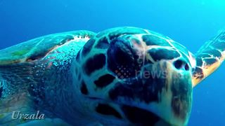 Inquisitive hawksbill turtle gets close to divers - Video