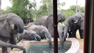 Herd Of Elephants Bring A Very Different Type Of Trunk Poolside As They Drink From A Tourist's Pool