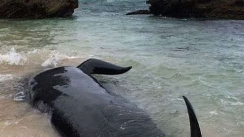 At least 150 Beached Whales Seen on Shore of Hamelin Bay