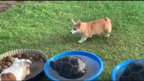 Jealous Corgi Barks At Turtles In His Swimming Pool