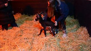 Too cute! Adorable UK donkey attempts first steps but face plants - Video