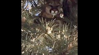 Caught on video: mountain lion perched in tree in Carlsbad