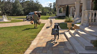 Great Danes help carry groceries inside home - Video