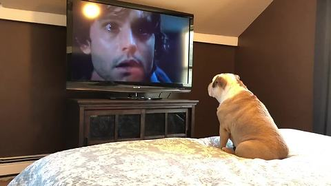 Fearless bulldog loves watching scary movies