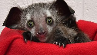 First footage of one of the rarest newborn lemurs in the world - Video