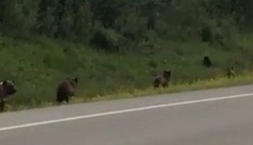 Four Hungry Grizzlies Chase Black Bear Away From Dinner