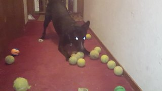 Dog can't decide which tennis ball to play with