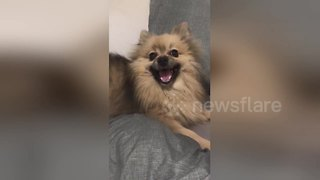 Tiny dog lets out hilariously big sneeze - Video