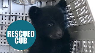 Tiny cub was discovered cuddling up to his dead mom before he was rescued