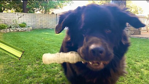 Watch out! Huge Newfie plays fetch in epic fashion