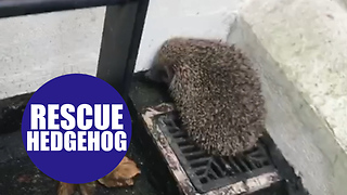 Footage shows a hedgehog rescued after 8ft fall. - Video