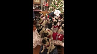 Large family of pugs dons Christmas sweaters for holiday photo with Santa - Video