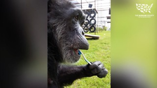Rescued chimp loves to brush her teeth - Video