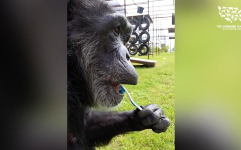 Rescued chimp loves to brush her teeth