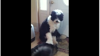 Obedient Dog Pets His Pet Cat On Command - Video