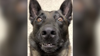 FUNNY! Staring contest with Jester the Police K9 - ABC15 Digital - Video