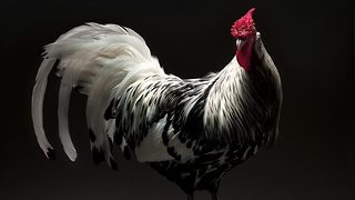 Feathery fashionistas: Photography project gives vibrant chickens and roosters the professional model treatment