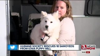 Humane Society rescues 18 Samoyeds from Iowa puppy mill