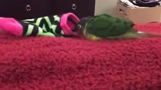 Parrot's new favorite toy is child's sock - Video