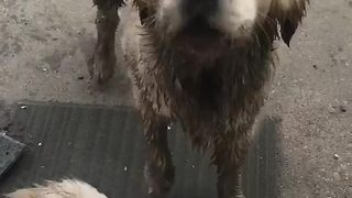 Muddy Dogs Bark When Owner Doesn't Allow Them To Get Inside - Video