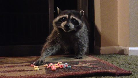 Wild raccoon helps itself to cereal treat