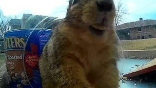 Squirrels Squeeze Into Jar for Camera Close-Up - Video