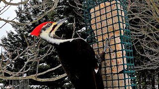 Gigantic woodpecker captured by camera mounted by bird feeder