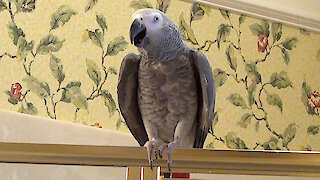Talking parrot is getting restless staying at home during quarantine