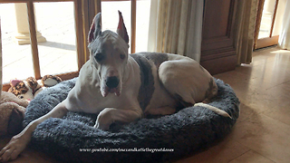 200lb Great Dane Doesn't Fit in XXL Dog Bed  - Video