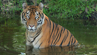Ex Circus Tiger Starts New Life At Florida Sanctuary: WILDEST ANIMAL RESCUES - Video